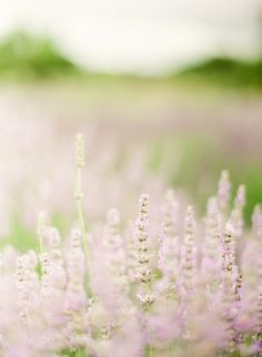 Summer and lavender! {photo by KT MERRY ~ Sonoma Lavender Farm}