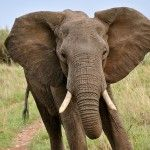 Wild Elephants of Africa and the Butterfly Tree [Full Nature Wildlife Do. Elephant Facts, Wild Elephant, Ivory Elephant, Elephant Images, Elephant Pictures, Fun Facts About Elephants, Quotes About Elephants, Elephas Maximus, World Elephant Day