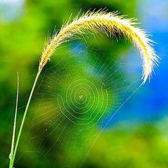 Bending nature with spider web. Such a delicate spiral. All Nature, Amazing Nature, Science Nature, Fuerza Natural, Foto Macro, Foto Gif, Fotografia Macro, Jolie Photo, Macro Photography