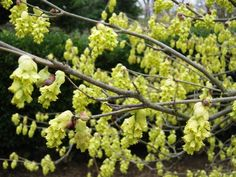 A great flowering branch for early Spring! Color Flowers in Baltimore Local Color, What Is Coming, Garden Shrubs, Early Spring, Cut Flowers, Greenery, Flower Arrangements, Beautiful Flowers, Fruit