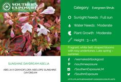 Sunshine-Daydream-Abelia blooms late in the spring with attractive bell shaped flowers.
