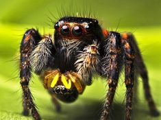 But don't forget, jumping spiders are THE CUTEST!!! | 19 Creatures That Conclusively Prove Size Isn't Everthing