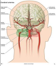 Posterior Cerebral Artery And Anatomy Brain Anatomy, Human Body Anatomy, Medical Anatomy, Anatomy And Physiology, Human Body Organs, Human Body Systems, Brain Science, Medical Science, Human Skeleton Anatomy
