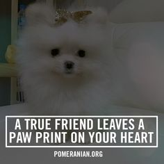 Marvelous Pomeranian Does Your Dog Measure Up and Does It Matter Characteristics. All About Pomeranian Does Your Dog Measure Up and Does It Matter Characteristics. Baby Pomeranian, Pomeranian Facts, Save A Dog, Companion Dog, Getting A Puppy, Lap Dogs, Blue Merle, Little Dogs, Pom Poms