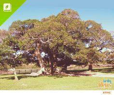 Você já ouviu falar na figueira-de-jardim? Esta árvore tem frutos semelhantes aos figos comuns, mas são mais duros e achatados. Como é rústica, se adapta com facilidade e não exige muita manutenção.