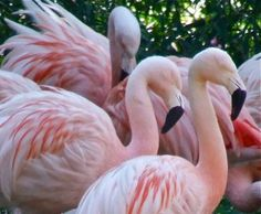 Flamingos are highly recognisable by their distinctive colourisation and interesting features. They feed with their bills upside-down, tipping their head into the water to filter food. Harewood House, Pink Things, Bird Species, Leeds, South America, Pretty In Pink, Feathers, Palace, Filter
