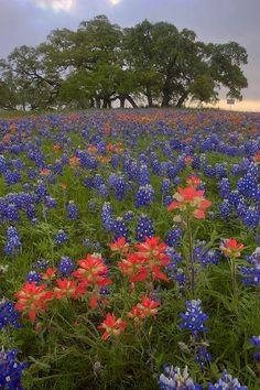 field of bluebonnet flowers | Independence Texas bluebonnets