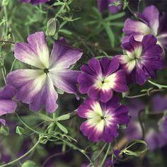 Climber Seeds - Plant World Seeds Alpine House, Summer Hill, Planting Seeds, Bright Green, Trellis, Blue Flowers, House Plants, Perennials, Vines