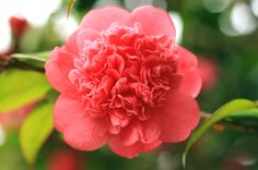 Camellia Show at Tomago House