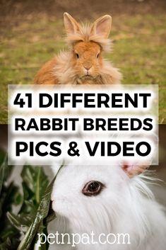 41 Different Rabbit Breeds – Rare Rabbit Breeds – Pics Video! Rabbit Breeds, Pet Breeds, Jungle Animals, Animals For Kids, Animals And Pets, Farm Animals, Dog Grooming Business, Pet Grooming, Amigurumi