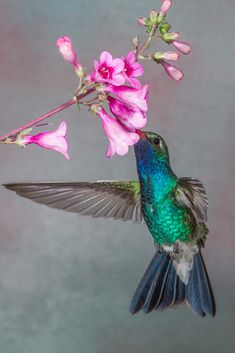 This male Broad-billed Hummingbird was photographed in Madera Canyon Arizona. Hummingbird Pictures, Hummingbird Flowers, Wild Photography, Animal Photography, All Birds, Little Birds, Exotic Birds, Colorful Birds, Pretty Birds