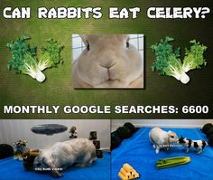 Can rabbits eat celery? Rabbit Diet, Rabbit Eating, Rabbit Food, Ask A Vet, Raising Rabbits, Meals For One, Celery, Bunny, Make It Yourself