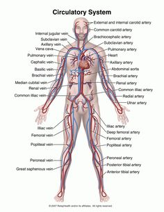 Know all these parts of the circulatory system