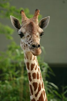 L'amie des bêtes, girafe