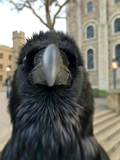 Raven at the Tower of London - Animals Animals And Pets, Funny Animals, Cute Animals, Quoth The Raven, Raven Art, Jackdaw, Crows Ravens, Tier Fotos, My Spirit Animal