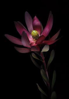Belladonna's Garden:  In #Belladonna's #Garden ~ Leucodendron, Jean Boulay.