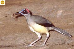 ☎️ https://www.facebook.com/WonderBirdSpecies/ ☎️☎️ Grey-necked rockfowl (Picathartes oreas); Nigeria, Cameroon, Equatorial Guinea, and Gabon;  IUCN Red List of Threatened Species 3.1 : Vulnerable (VU)(Loài sắp nguy cấp)  Chim hói đầu cổ xám; Nigeria, Cameroon, Guinea xích đạo và Gabon; HỌ CHIM HÓI ĐẦU - PICATHARTIDAE (Picathartes, rockfowl or bald crows).