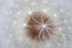 Federleicht wirkt die Pusteblume auf dieser Fototapete von Stefan Arendt. Die Detailaufnahme von der Löwenzahnblüte zaubert eine harmonische, leichte und unbeschwerte Atmosphäre.