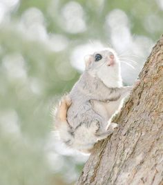 The adorable ezo momonga is a type of flying squirrel unique to Hokkaido. Its huge, dark eyes and little paws are so cute that it has become a local mascot of sorts,