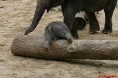 16 Baby-Elefanten, die so niedlich sind, dass Du anfängst zu quieken