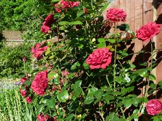 Lush foliage and thriving rose blooms, sent in by J Boast, Ashford