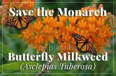 Save the Monarch Butterfly, Plant Butterfly Milkweed. Milkweed is the only food Monarch larvae eat. http://www.thegrowers-exchange.com/Asclepias_tuberosa_p/her-asc01.htm