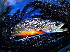 The spectacular colors of a Speckled Trout [Brook Trout]