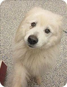 8/13/15 Golden, CO - Samoyed Mix. Meet Sammy, a dog for adoption. http://www.adoptapet.com/pet/13607040-golden-colorado-samoyed-mix