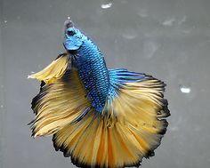 live-Tropical-Fish-Mustard-dragon-halfmoon-betta-E8