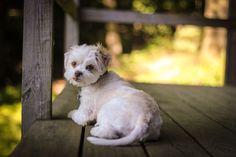 Luna   Pug Shot Pet Photography