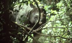 Javan rhino clings to survival in last forest stronghold  There are only 35 rhinos left in one wild population, and none in captivity. But conservationists hope they can increase the numbers of what is possibly the rarest large mammal on Earth
