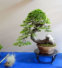 bonsai eba 08