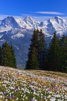 Krokusse am Niederhorn mit Berner Alpen im Hintergrund. Foto: Natur-Welten…