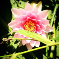 Water lily-by Tamara Slager