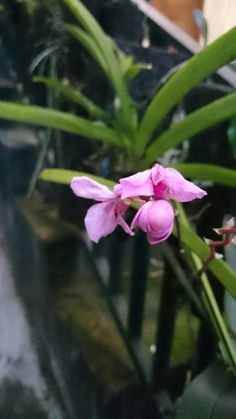 Orchidaea
