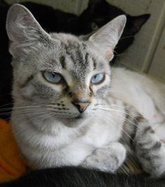 Lynx Point Siamese. Looks so much like my Simon. Funny enough, this adoptable cat's name is Simone!