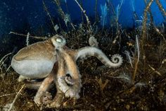 One of the Antarctic's 16 different types of octopus ! - Our special report offers a rare look at life beneath the frozen continent—where penguins, seals, and exotic creatures thrive. Types Of Octopus, National Geographic, Underwater Images, Deep Sea, Under The Sea, Continents, Penguins, Diving, Nature Photography