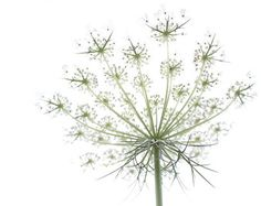 queen annes lace tattoo - Google Search