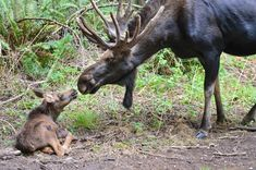 Willow is the first moose born at the 725-acre wildlife park near Eatonville, Washington, in 15 years, and she arrived as a very special delivery on July 17 – Northwest Trek's 40th birthday.