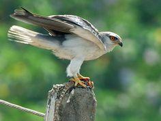 Black-shouldered Kite                             Elenus Caeruleus              Blouvalk