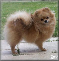 Pomeranian. Best breed in the world.