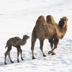 "A male Bactrian Camel calf is now on exhibit at Minnesota Zoo. Born March 7 weighing a whopping 125 pounds, the calf – who hasn't been named yet – has been kept offexhibit with his mother to ensure that he was healthy and gaining weight. Camels usually gain approximately two pounds per day, and will reach adult size (1600–1800 pounds and eight feet tall) in 3-4 years. The gestation period for Bactrian camels is just over one year. This is the fifth calf for mom ""Sanya"" an"