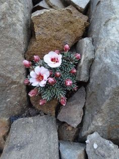 Saxifraga 'Karel Capek' [Family: Saxifragaceae] succulentes et plantes grasses Cacti And Succulents, Planting Succulents, Cactus Plants, Garden Plants, Planting Flowers, Unusual Flowers, Amazing Flowers, Wild Flowers, Beautiful Flowers