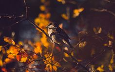 Download wallpaper sparrow, autumn, leaves, dobraatebe, branch bokeh, animals resolution 1280x800