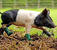 Cinderella, a six-week-old saddleback pig has conquered her fear of walking in mud with the help of a pair of bespoke wellies.