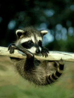 """please help me"", baby raccoon"