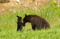 Momma and baby cub playing at Cades Cove.