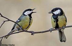 Le taux de corticostérone influencerait la fidélité des couples de mésanges | Photographie de Shirley Clarke (Wikimedia Commons) : couple de Mésanges charbonnières (Parus major) #ornithologie   #oiseaux   #nature   #saintvalentin2015   #saintvalentin