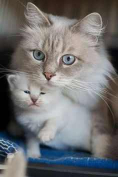 Pin by holly pizzo on cats and dogs pinterest cat mother cat and kitten cat cats kitten kittens cute catsprotection altavistaventures Images