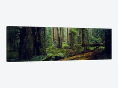Trees in a forest, Hoh Rainforest, Olympic National Park, Washington State, USA by Panoramic Images Canvas Print